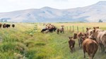 Idaho Cattle in Pasture 600x338